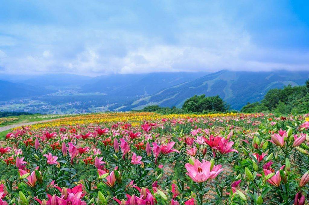 Mùa hè Nhật Bản mùa các loài hoa khoe sắc rực rỡ